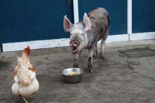 Rosa-Mariechen mit Henne Elvira beim Mittagessen, © Stiftung Hof Butenland/Karin Mück