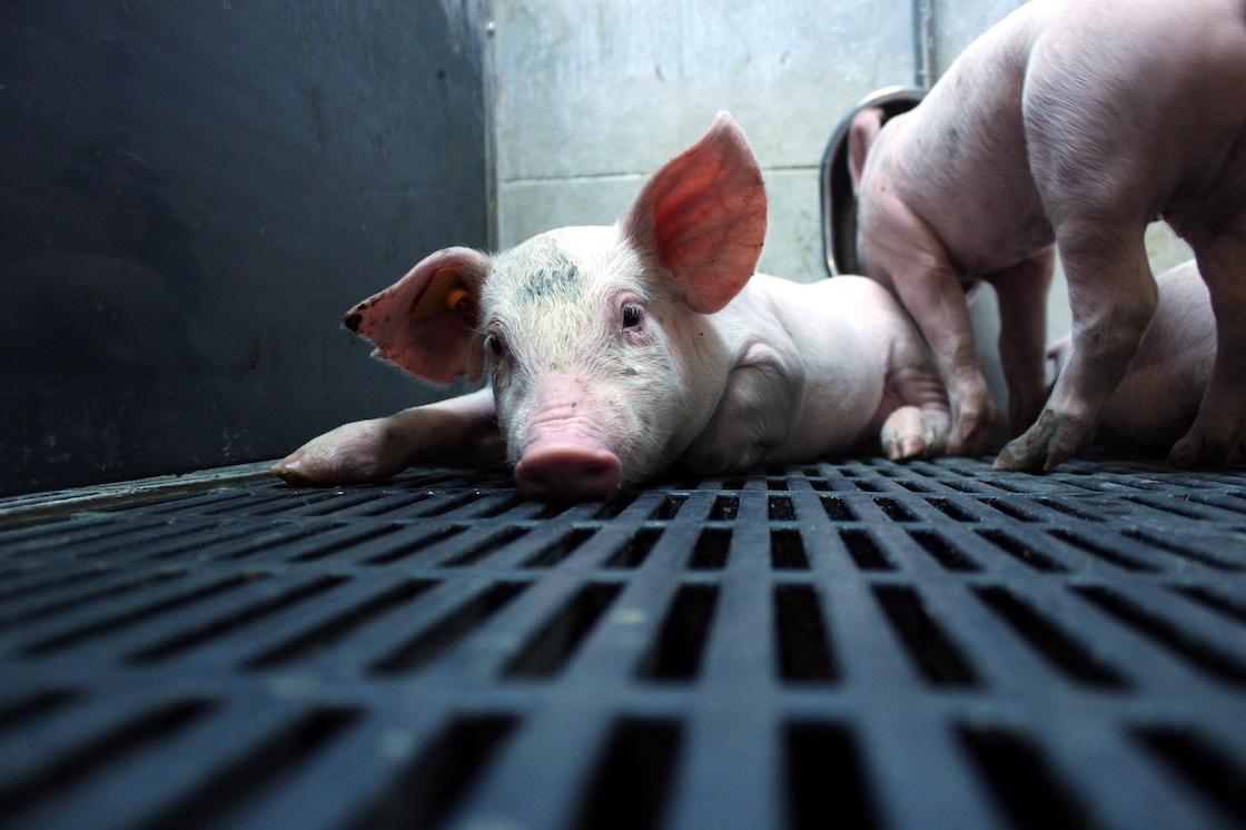 In österreichischer Landwirtschaft lebende Schweine, (c) Verein Gegen Tierfabriken