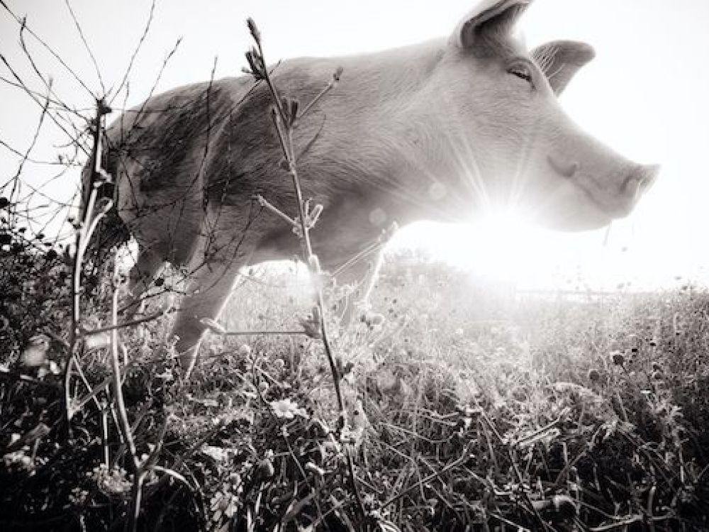 (Schwein) Jane am Lebenshof Farm Sanctuary, (c) Jo-Anne McArthur / We Animals