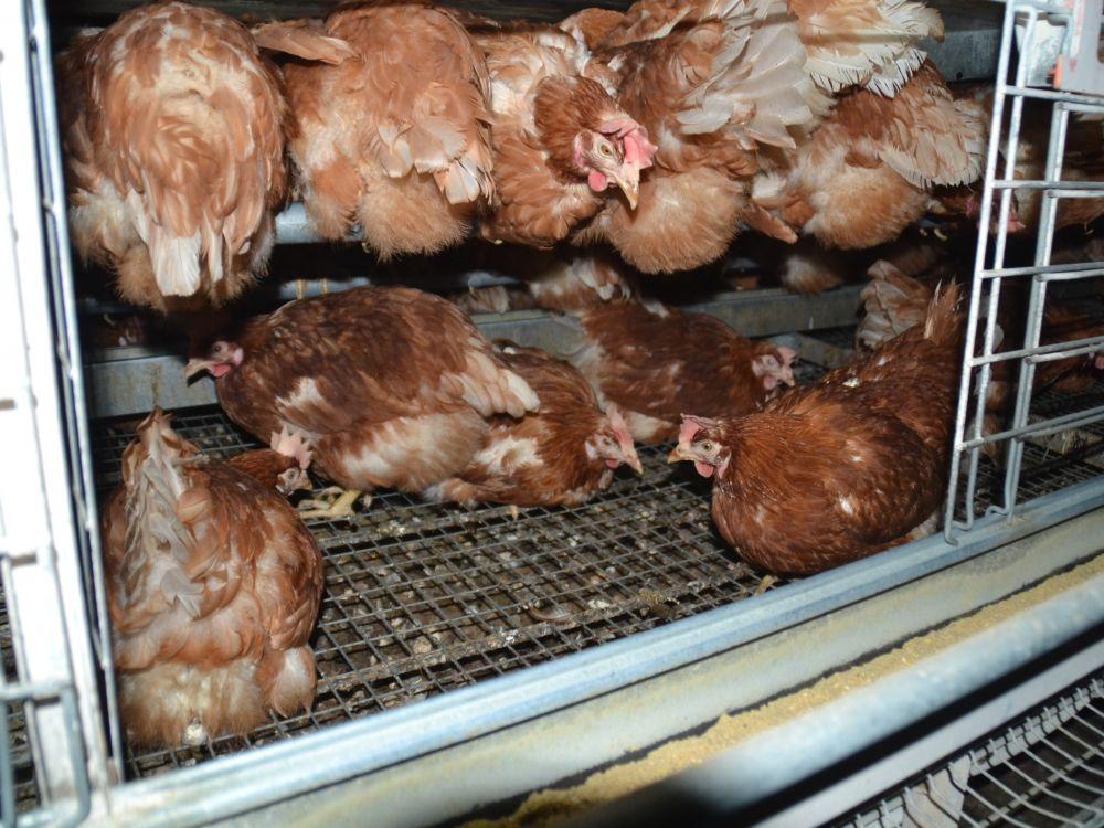 Viele Hühner auf engem Raum
