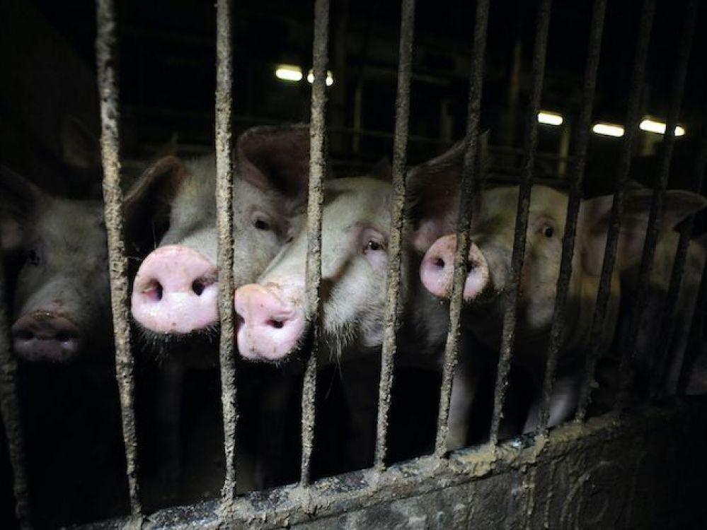 Schweine in der Landwirtschaft, (c) Jo-Anne McArthur / Oikeutta eläimille