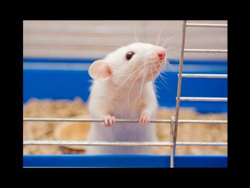 Ratte bei offener Käfigtür