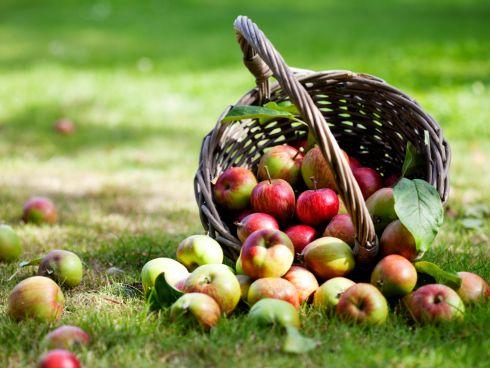 Frische Äpfel vom Baum