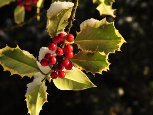 Weihnachtliche Stechpalme